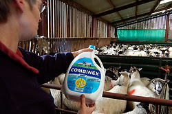 Dales farmer gives her sheep medicine to prevent flukes & worms; Yorkshire Dales UK