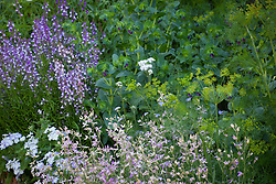 Matthiola bicornis (Night-scented stock) with Linaria maroccana 'Licilia Azure' (toadflax) and Phlox drummondii 'Lavender Beauty'.