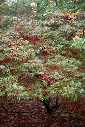 Acer palmatum 'Shaina' - Japanese maple