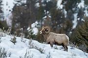 Rocky mountain bighorn ram on winter range in Yellowstone National Park
