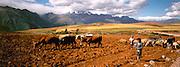 PERU, AGRICULTURE herding livestock above Urubamba