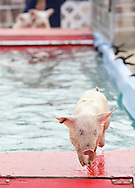 Augusta, New Jersey - A pig continues racing after swimming across a pool at the New Jersey State Fair and Sussex County Farm and Horse Show on Aug. 11, 2010.