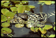 05: CAIMAN HATCHLINGS & ADULTS