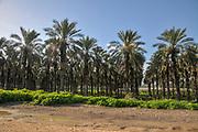 Palm tree plantation in the Jordan Valley, Israel