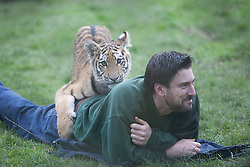© London News Pictures. 04/02/2013.Head of Large Carnicore Cection Ben Warren plays with endangered Siberian tiger cub Kazimir. Howletts Wild Animal Park in near Canterbury, Kent, officially announces endangered Siberian cubs debut. Siberian or Amur tigers are endangered in the wild and it is estimated that only 400 remain. Picture credit should read Manu Palomeque/LNP