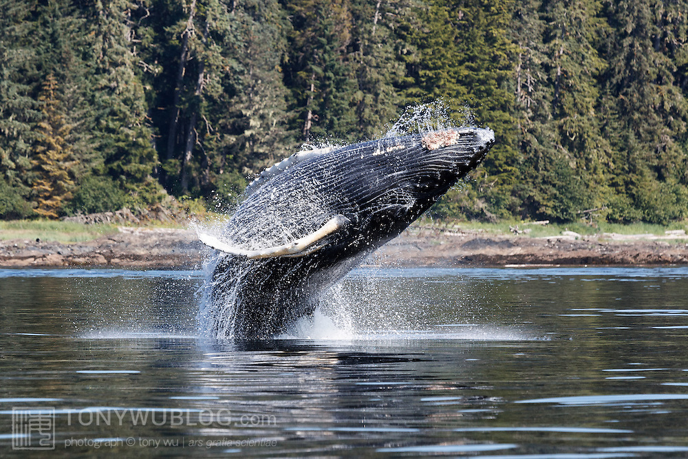 Humpback whale calf breaching in Alaska. This calf's mother was part of a large group of whales engaged in bubble net feeding. The calf was left to play while its mother fed. The adult female broke from the group from time to time to spend time with the calf, perhaps to nurse the young whale.