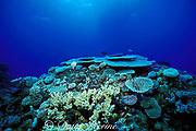 hard corals on top of coral bommy, Flinders Reef, Coral Sea, Queensland, Australia ( Western Pacific Ocean )