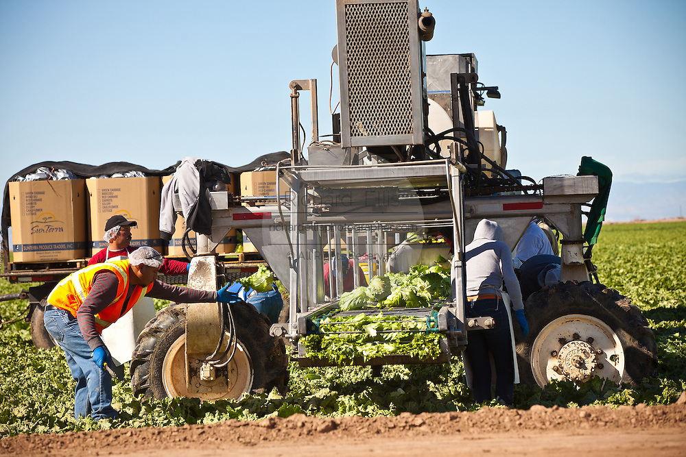 Mexican agriculture workers harvest iceberg lettuce in the Imperial Valley Niland, CA.