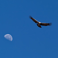An andean female condor gliding in the sky with the moon behind it.