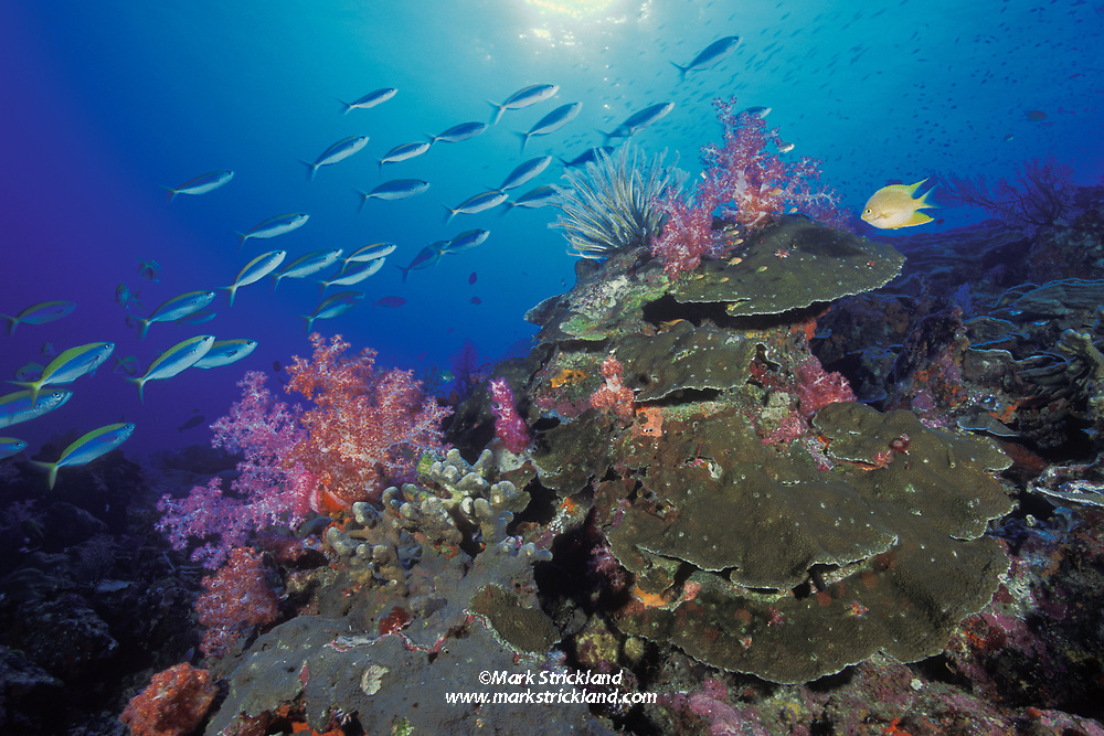 Thriving hard and soft corals, abundant reef fish, all signs of a healthy reef system. Similan Islands Marine National Park, Thailand,  Andaman Sea