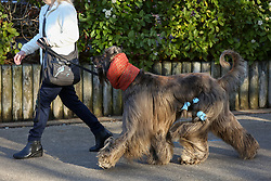 © Licensed to London News Pictures. 09/03/2017. Birmingham, UK. A dog with it's coat tied up arrives at the 126th annual Crufts dog show at the NEC in Birmingham, West Midlands. The show is organised by the Kennel Club and is the biggest of it's kind in the world.  Photo credit : Ian Hinchliffe/LNP