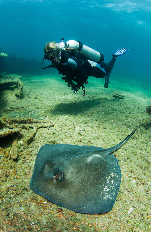 A SCUBA diver swims next to a southern stingray on a shipwreck in The Bahamas.