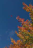 A falling leaf signals the changing of the season with the temperatures continuing to hover towards the warmth of summer.  (Karen Bobotas/for the Laconia Daily Sun)