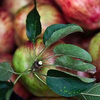 Freshly harvested apples.