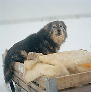 A Sami's dog on th back of a sleigh in Lapland, Sweden