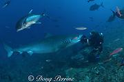 tiger shark, Galeocerdo cuvier, tries to eat Mike Neumann's video housing at Shark Reef Marine Reserve, Beqa Passage, Viti Levu, Fiji ( South Pacific Ocean ) MR 309