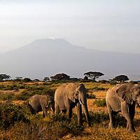 Africa, kenya, Amboseli. Elephants and Mt. Kilimanjaro.
