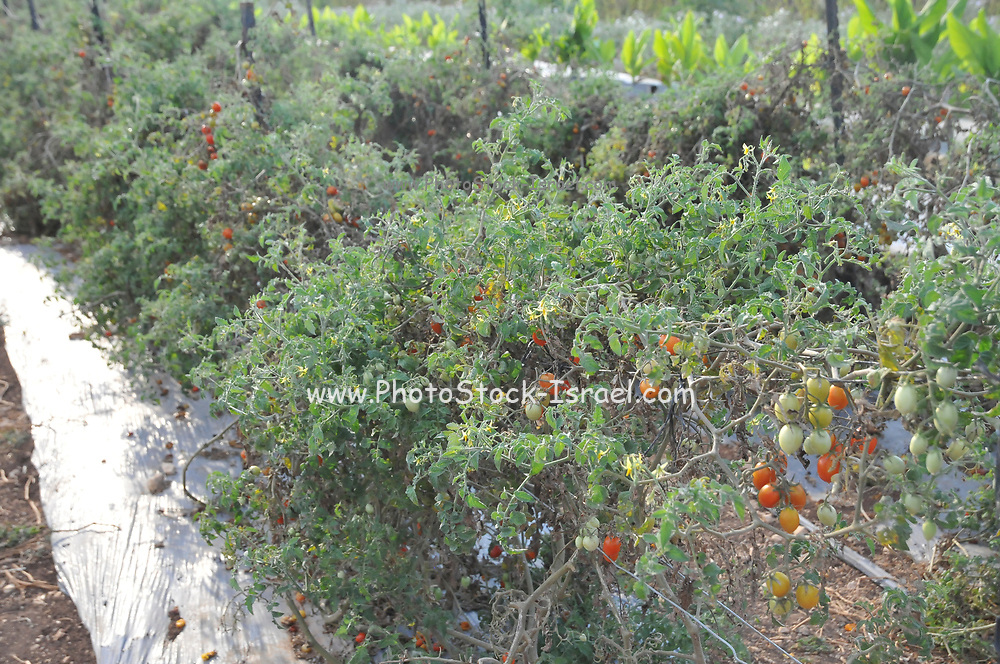 tomatoes developing on a tomato bush