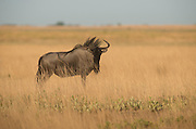 A handsome Wildebeest bull holding his territory.