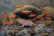River Chub (with Saffron Shiners)