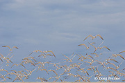 great crested terns or swift terns, Sterna bergii or Thalasseus bergii, Turu Cay, Torres Strait, Queensland, Australia