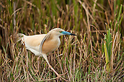 Squacco Heron (Ardeola ralloides)<br /> RANGE; Breed in Southern Europe & Greater Middle East. Migrant, wintering in Africa. <br /> They feed on insects, fish & amphibian. Breed in marshy wetlands in small colonies often with outehr wading birds.<br /> Wetland Reserve<br /> Doñana National & Natural Park. Huelva Province, Andalusia. SPAIN<br /> 1969 - Set up as a National Park<br /> 1981 - Biosphere Reserve<br /> 1982 - Wetland of International Importance, Ramsar<br /> 1985 - Special Protection Area for Birds<br /> 1994 - World Heritage Site, UNESCO.<br /> The marshlands in particular are a very important area for the migration, breeding and wintering of European and African birds. It is also an area of old cultures, traditions and human uses - most of which are still in existance.