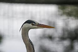 THEMENBILD - Der Graureiher, auch Fischreiher genannt, ist eine Vogelart aus der Ordnung Pelecaniformes. Er ist in Eurasien und Afrika weit verbreitet und häufig, aufgenommen am 19.05.2019 im Tiergarten Schönbrunn in Wien, Österreich // The gray heron, also called heron, is a bird of the order Pelecaniformes. It is widespread and frequent in Eurasia and Africa, pictured on 2019/05/19 at the Tiergarten Schönbrunn at Vienna, Austria. EXPA Pictures © 2019, PhotoCredit: EXPA/ Lukas Huter