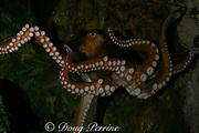octopus, Octopus sp., Melbourne Museum, Victoria, Australia