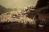 France, Languedoc Roussillon, Cevennes, transhumance des moutons dans le massif de l'aigoual