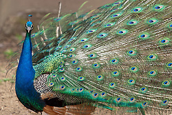 03 July 2006  A quick vacation through Iowa to Omaha.  Peafowl or Peacock. (Photo by Alan Look)