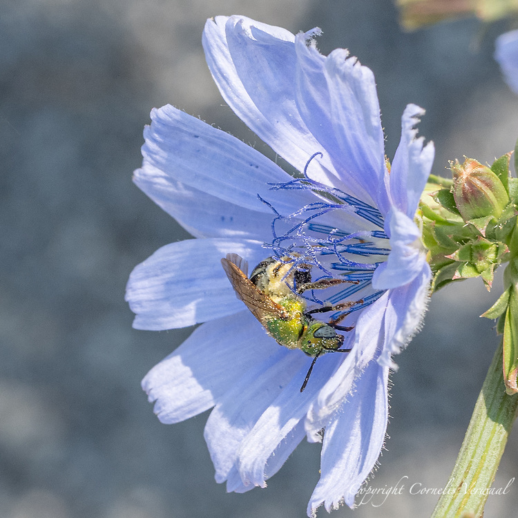 A member of the Striped Sweat Bees (Genus Agapostemon), probably a Bicolored Striped Sweat Bee (Agapostemon virescens)<br />  on a Chicory flower along the Reservoir in Central Park today July 22, 2021.