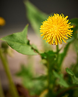 Dandelion. Image taken with a Leica SL2 camera and 90-280 mm lens.