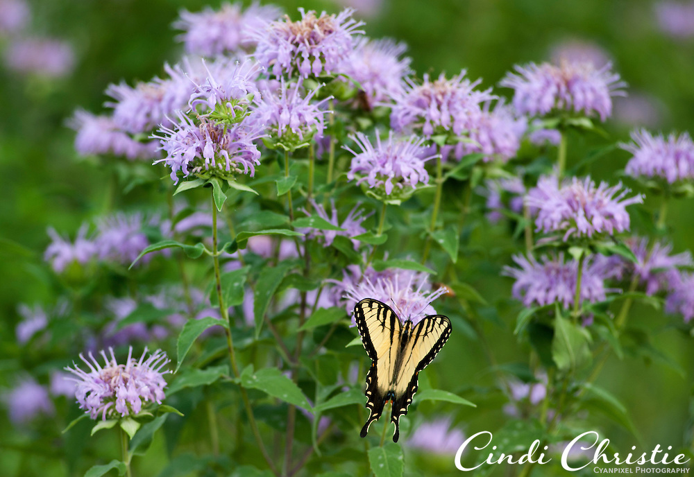 Wild bergamot ( Monarda fistulosa), a prairie flower in the mint family. attracts an Eastern Tiger Swallowtail (Papilio glaucus) butterfly at Schaar's Bluff Gathering Center in Spring Lake Park Reserve, Hastings MN, on Friday, July 22, 2011. (© 2011 Cindi Christie/Cyanpixel Photography)