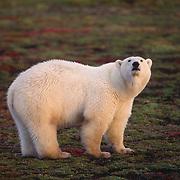 Polar bear on the tundra during autumn in Canada.