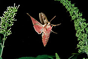 Spurge Hawk Moth, Hyles euphorbiae, in flight, flying, high speed photographic technique, pink colours