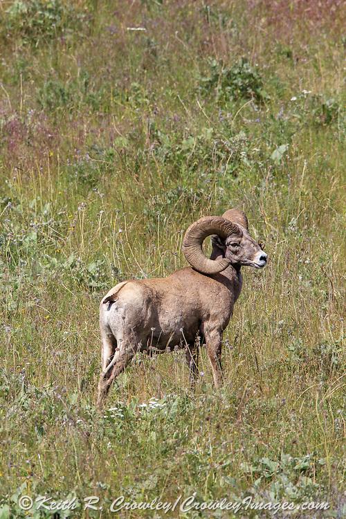 Mature Bighorn Sheep Ram in Open Habitat