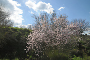 blooming Almond blossoms (Prunus dulcis) Photographed in Israel in February This tree flowers before it produces leaves