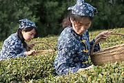 Rizhao organic tea plantations, Shandong Province, China