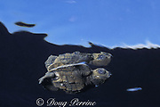 olive ridley sea turtle hatchling, Lepidochelys olivacea, Costa Rica, Central America ( Eastern Pacific Ocean )
