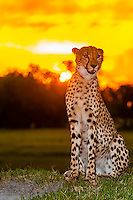 Cheetah at sunset, Kwara Camp, Okavango Delta, Botswana.