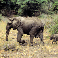 Africa, Tanzania, Lake Manyara; A mother leads her baby elephant calf.