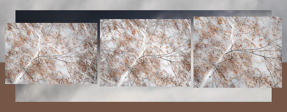 """Birch Tree Triptych<br /> For IMAGE LICENSING just click on the """"add to cart"""" button above or contact the artist.<br /> <br /> Fine Art archival paper prints for this image as well as canvas, metal and acrylic prints available here: <br /> <br /> <br /> To GET BACK TO LAGE IMAGE VIEWS:<br /> Click your browser back arrow until you get to the large view screen. <br /> OR click https://julieweberphoto.photoshelter.com/index<br /> which takes you to the home page. Then choose a gallery.  <br /> <br /> For FULL SCREEN VIEW, click on expand view double arrow icon"""