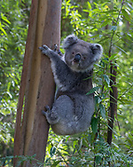 A koala pauses in its ascent of a tree to look at a photographer in Great Otway National Park on the Great Ocean Road in Victoria, Australia