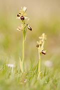 Early spider orchids (Ophrys sphegodes) on coastal downland. Dorset, UK.