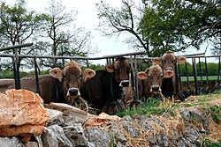 19\04\2009 è facile incontrare durante una passeggiata per le campagne della Puglia animali di diversa razza (equini,bovini,suini, ovini) come ad esempio quattro mucche di colore marrone con i loro marchi auricolari bloccati per la testa da una stabulazione fissa di legno, intente a mangiare del fieno...In Puglia, ancora oggi, persistono realtà autentiche e genuine: flora e fauna sono gli ingredienti base delle masserie che con i loro muretti a secco costellano il territorio del tacco d' Italia. Qui l'allevamento è una delle attività principali, ieri come oggi, che il massaro porta avanti quotidianamente con pazienza e devozione. La masseria delle Murge è abitata da equini, bovini, ovini ecc. che sono il motore della produzione alimentare come per esempio la tipica mozzarella. Entriamo quindi in un'atmosfera bucolica che ci fa respirare odori, gustare sapori e ammirare colori che identificano il territorio. Buon viaggio dei sensi..