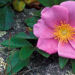 """Cutler, ME.Pasture Rose, rosa carolina.  On the Coastal Trail - """"Bold Coast"""".."""