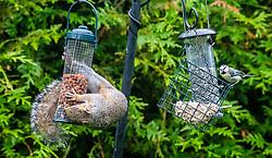 Squirrel in the garden.