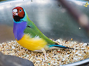 """The Gouldian Finch (or Lady Gouldian or Rainbow Finch) is native to tropical Northern Australia and has green or blue back; red, black or orange head; and white or lavender breast. The photo is from Bloedel Conservatory, in Queen Elizabeth Park, 4600 Cambie St, Vancouver, British Columbia, Canada. Bloedel Conservatory is a domed lush paradise where you can experience the colors and scents of the tropics year-round, atop the City of Vancouver's highest point, Little Mountain (501 feet). In Bloedel Conservatory, more than 200 free-flying exotic birds, 500 exotic plants and flowers thrive within a temperature-controlled environment. A donation from Prentice Bloedel built the domed structure, which was dedicated in 1969 """"to a better appreciation and understanding of the world of plants,"""" and is jointly operated by Vancouver Park Board and VanDusen Botanical Garden Association. A former rock quarry has been converted into beautiful Queen Elizabeth Park with flower gardens, public art, grassy knolls."""