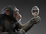 Chimp and Mirror