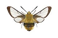 Narrow-bordered Bee Hawk-moth - Hemaris tityus